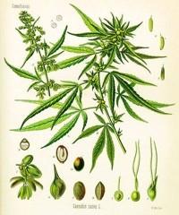 L'usage médical du cannabis et des cannabinoïdes – Les Échos du Chanvre – 1998