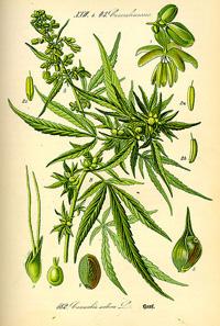 Cannabis ancienne planche