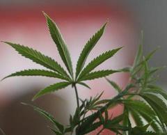 Un pneumologue préconise une stratégie de réduction des risques pour le cannabis