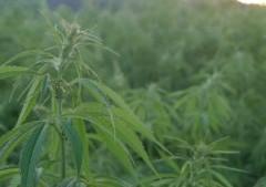 Consommation de cannabis à usage thérapeutique ?