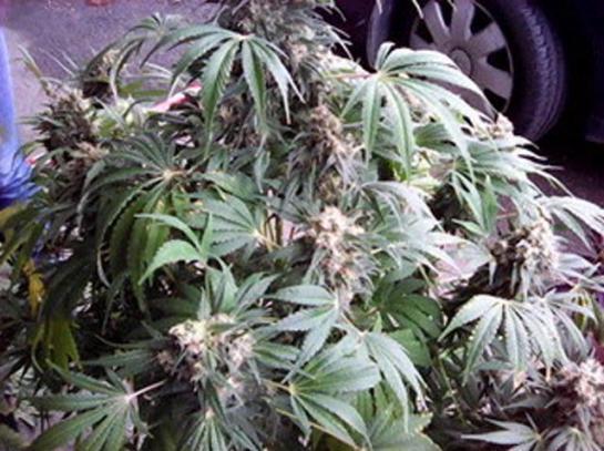 villepreux il cultivait le cannabis pour soigner ses maux de dos principes actifs. Black Bedroom Furniture Sets. Home Design Ideas