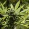 Israël prend très au sérieux le cannabis thérapeutique