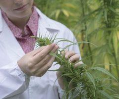 Canada : Au CHUM, un dérivé du cannabis sera mis à l'essai pour contrer la dépendance à la cocaïne