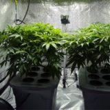 Un maire hollandais autorise l'autoculture de cannabis