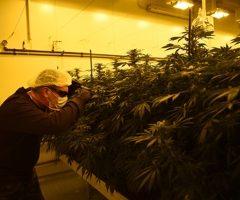 En Italie, le cannabis est cultivé par des militaires