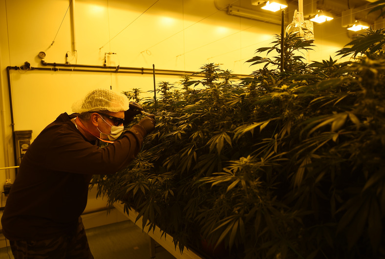 TO GO WITH AFP STORY BY ANGUS MACKINNON - A member of the Italian Military's Cannabis Project Team works in the growing room of Marijuana and inspects pristine plant buds destined to be cut and dried into a version of the drug for medical use, on January 27, 2017 at the Chemical and Pharmaceutical institute (ICFM) in Florence. An estimated 2,000-3,000 Italians currently use medical cannabis for purposes such as relief from multiple sclerosis pain or combatting nausea after chemotherapy. Italy's guidelines also highlight its possible use for glaucoma and in helping to restore the appetite of anorexia and HIV patients. / AFP PHOTO / FILIPPO MONTEFORTE