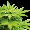 Myrcène : Un terpène qui potentialise l'activité des cannabinoïdes