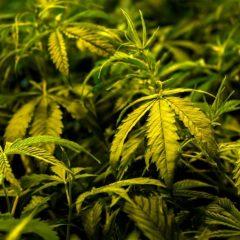 Les Etats-Unis autorisent pour la première fois un médicament à base de cannabis