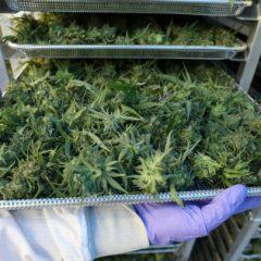 Le cannabis médical sera autorisé au Royaume-Uni dès le 1er novembre