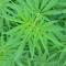 Bientôt des cultures de cannabis légales en Nouvelle-Aquitaine ?