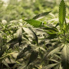 La Cour Suprême du Mexique met fin à la prohibition du cannabis