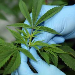 Cannabis Domestication, Breeding History, Present-day Genetic Diversity, and Future Prospects