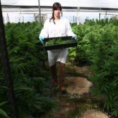 Israël autorise l'exportation de cannabis à usage médical