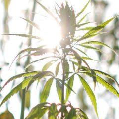 Cannabis thérapeutique : que s'est-il dit à l'Assemblée Nationale ce 5 décembre ?