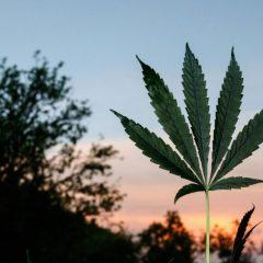 Santé : le cannabis thérapeutique bientôt testé à Marseille