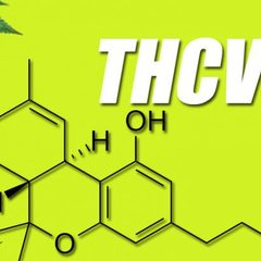 Qu'est-ce que la tétrahydrocannabivarine (THCV) ?