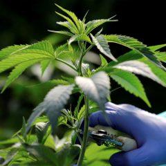 La Croatie légalise la production du cannabis thérapeutique