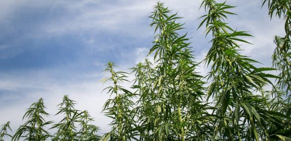 Cannabis : des chercheurs ont cerné sa région d'origine