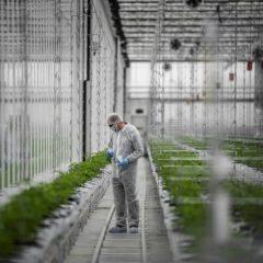 Cannabis thérapeutique : entre botanique et barbelés, les coulisses d'une usine de production au Portugal