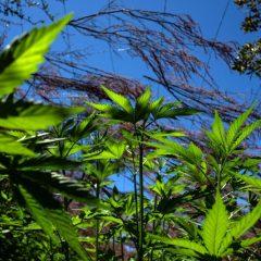 Cannabis thérapeutique : en avant vers l'expérimentation