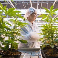 Le cannabis thérapeutique, nouvelle panacée ou enfumage?