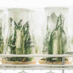 Etude : les propriétés antibactériennes des feuilles de cannabis