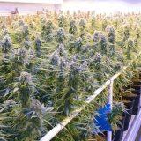 Un essai de cannabis médical ciblera 20000 patients britanniques