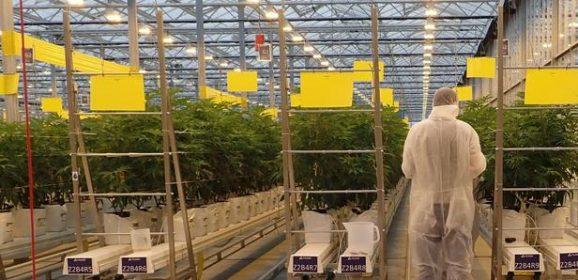 Multinationales contre agriculteurs français: qui va gagner la bataille du cannabis thérapeutique ?