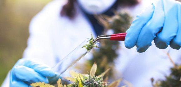 La DEA propose d'étendre la recherche sur le cannabis
