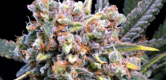 Comment les terpènes affectent les effets d'une variété de cannabis ?