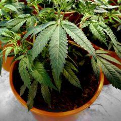 Cannabis thérapeutique : une association interpelle Dupond-Moretti