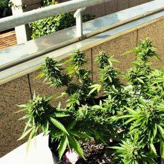 15 députés italiens annoncent cultiver du cannabis à domicile