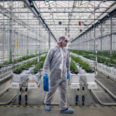 La légalisation du cannabis a fait baisser la consommation