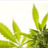 L'Argentine légalise l'autoculture de cannabis à usage thérapeutique