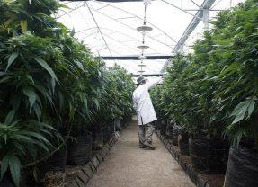 Israël prévoit de légaliser le cannabis d'ici 9 mois