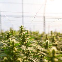 Argentine : l'autoculture de cannabis à usage thérapeutique avance ville par ville