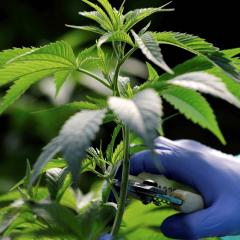 Un premier diplôme sur le cannabis médical en France