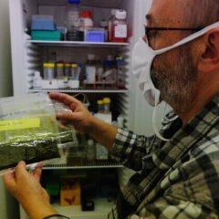 Avant-gardiste et réprimée : la filière alsacienne pour la légalisation du cannabis thérapeutique