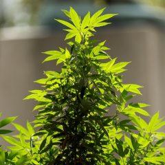 Cannabis : à contre-courant d'Emmanuel Macron, des parlementaires soutiennent la légalisation
