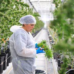 La recherche sur le cannabis médical connaît toujours des problèmes de financement
