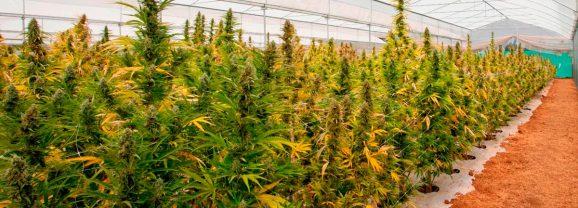 L'Argentine présente son projet de légalisation du cannabis médical