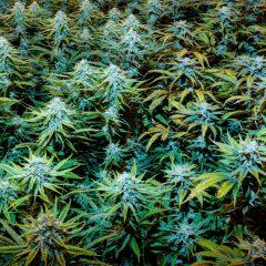 Le cannabis médical légal au Dakota du Sud à partir du 1er juillet