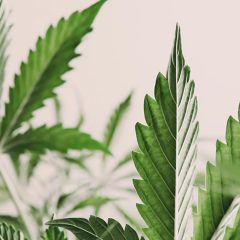 Étude : 71 % des patientes atteintes de cancer gynécologique soulagées par le cannabis médical