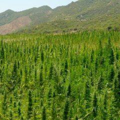 Maroc : la légalisation du cannabis médical officiellement promulguée