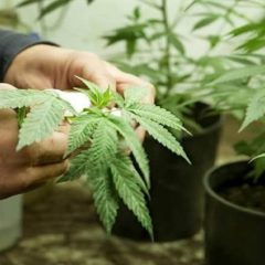 Cultiver son propre cannabis est bientôt légal en Italie