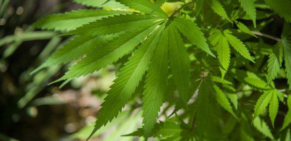 Pour comprendre l'autoculture du cannabis, des scientifiques cherchent des producteurs en herbe