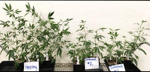 Aux Etats-Unis, une étrange infection menace les plants de cannabis